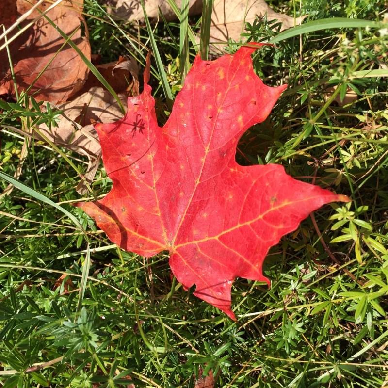 maple leaf in autumn Vermont