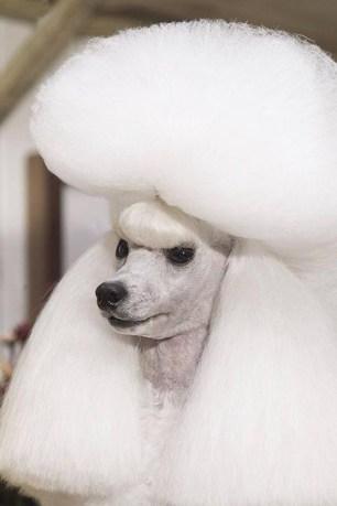 AMAZING DOG FACES #51 > Miniature Poodle