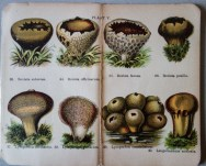 mimiberlin_poisenous_mushrooms_vintage_flora-07887