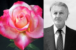 Hubert de Givenchy 'Givenchy,' a red-blend hybrid tea rose bred by Jack E. Christensen, debuted in 1986. Photo: ARS Photo; Pierre Guillaud/AFP/Getty Images