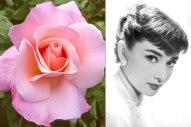 Audrey Hepburn An apple-blossom-pink hybrid tea rose developed by Jerry F. Twomey in 1991. Photo: Rich Baer; Hulton Archive/Getty Images