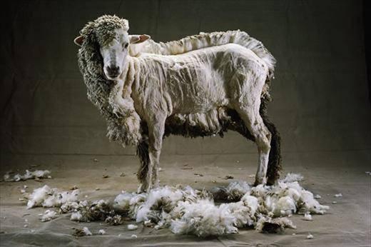 half shaven sheep