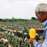 台湾でパイナップル、マンゴー、ライチ畑めぐり。