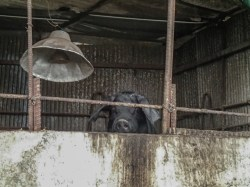 The wild black pig captured and raised