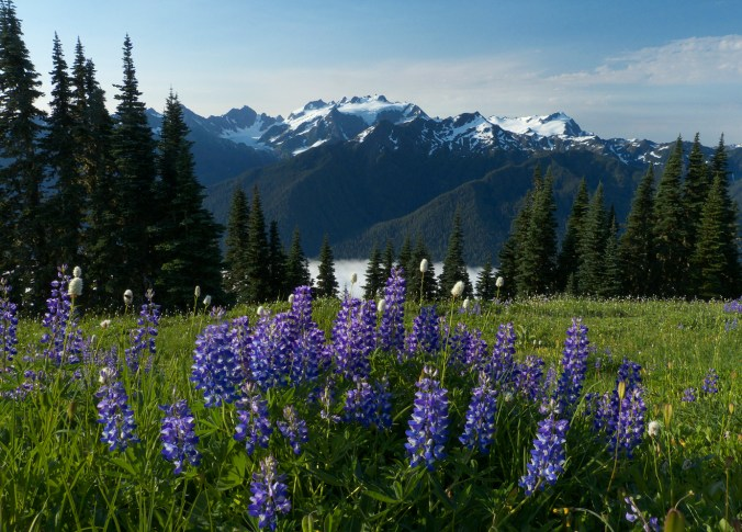 Olympic Mountains Lupine.jpg