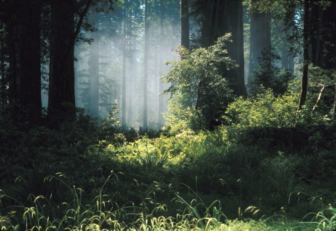 Redwoods in fog and sun
