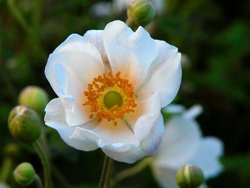 15 erbacee perenni a crescita lampo  Mimma Pallavicinis Weblog