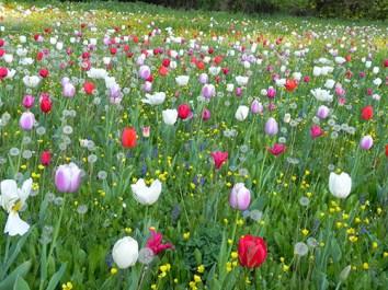 tulipani-a-Villa-Pisani-2017