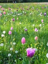 tulipani-Villa-Pisani