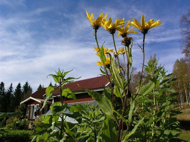 jordärtskockor-blomning_mellan