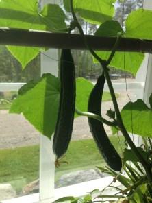 Jag slängde ut våra två gurkplantor ur köket förra veckan!! Det kom gurka ännu i november!!