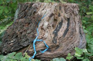 Een blauw lint als levensader klimt op eigen kracht omhoog langs een oude boomstronk, op zoek naar duurzaam vernieuwen.