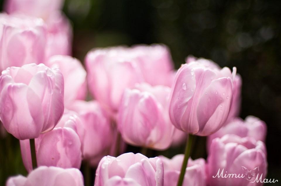 pinktulips4