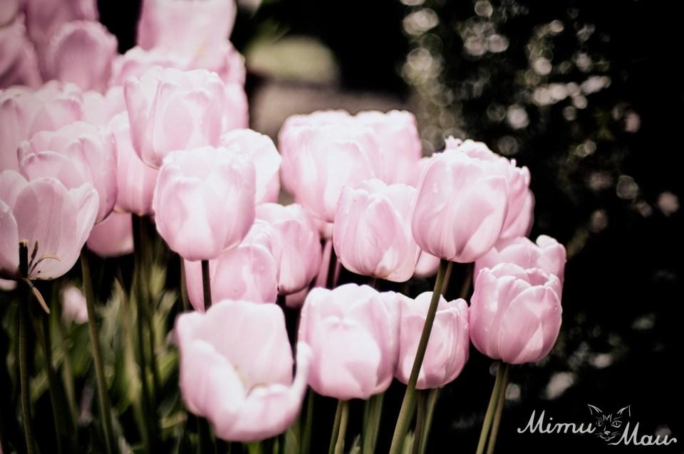 pinktulips5