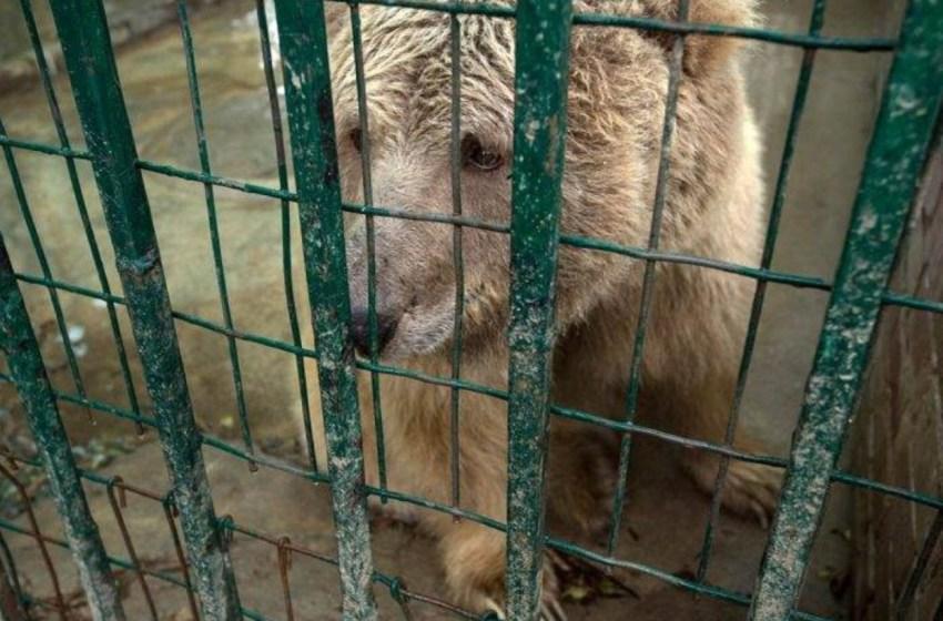 Estos dos osos, eran cruelmente maltratados en el peor zoológico del mundo