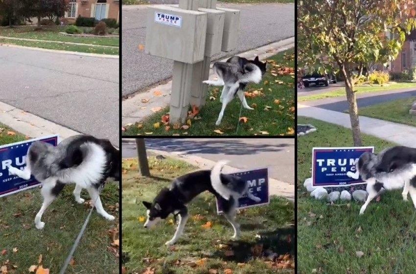 Perrito se hizo famoso en internet porque  se dedicó a orinarse en todos los avisos de la campaña presidencial de Trump