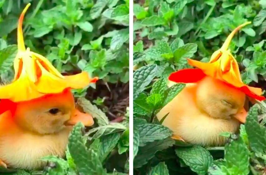 ¡Adorable! Patito se queda dormido con una flor en la cabeza y conmovió a los internautas