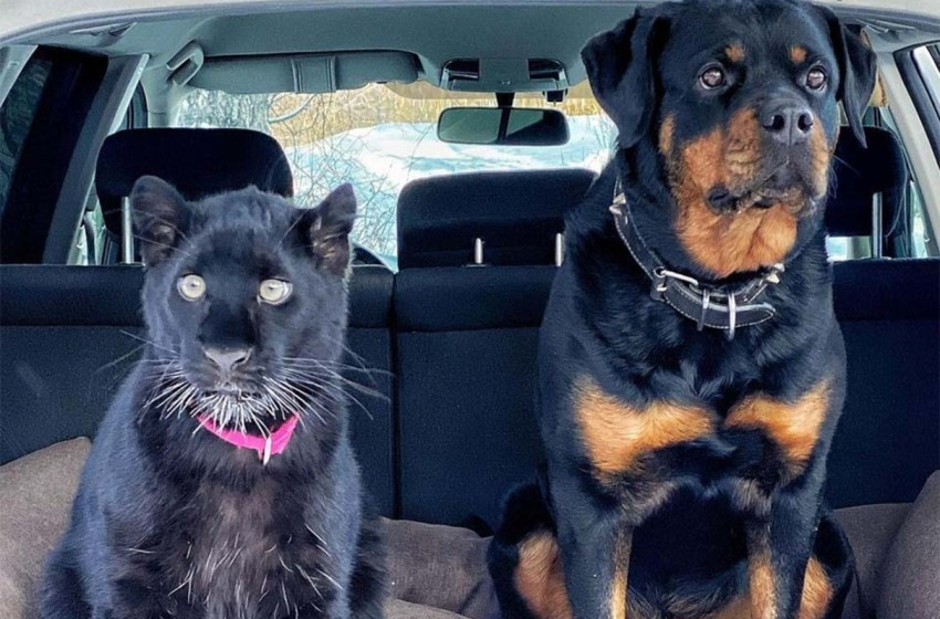 Increíble amistad entre esta pantera y un rottweiler, se vuelve viral
