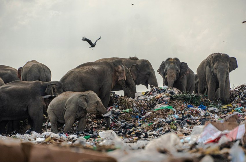 Elefantes hambrientos son captados comiendo basura en Sri Lanka
