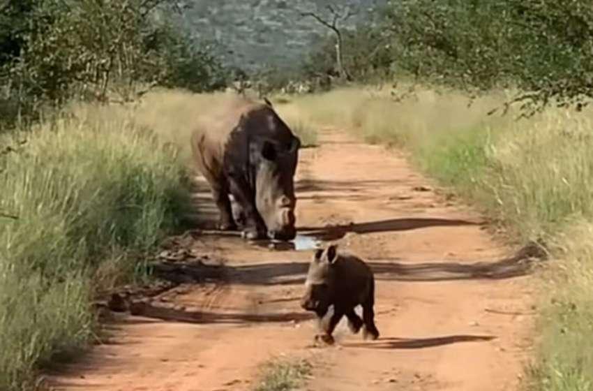 Mira como este adorable bebe rinoceronte demuestra lo aterrador que puede ser