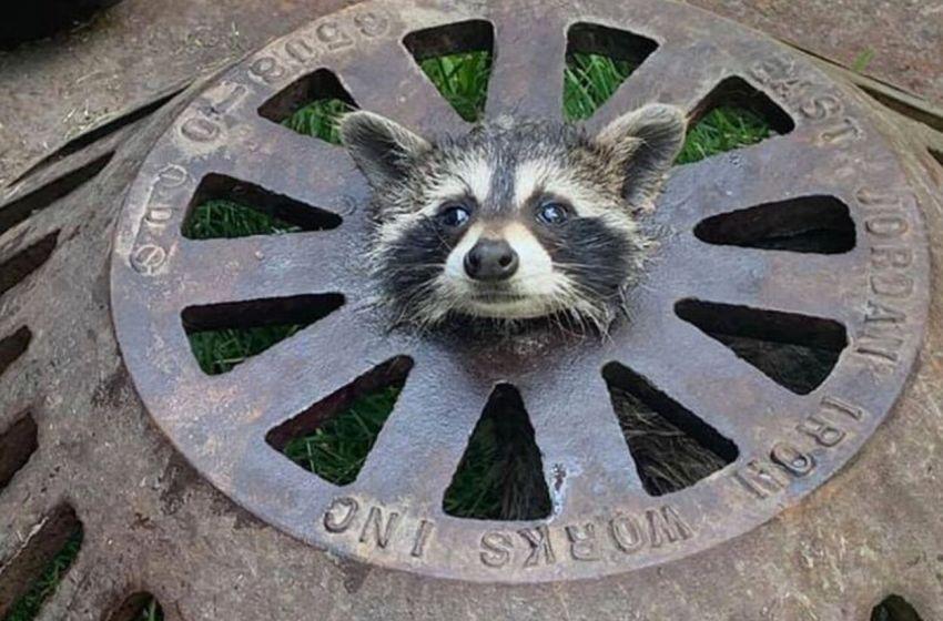 Indefenso mapache fue encontrado atascado en una tapa de un alcantarillado