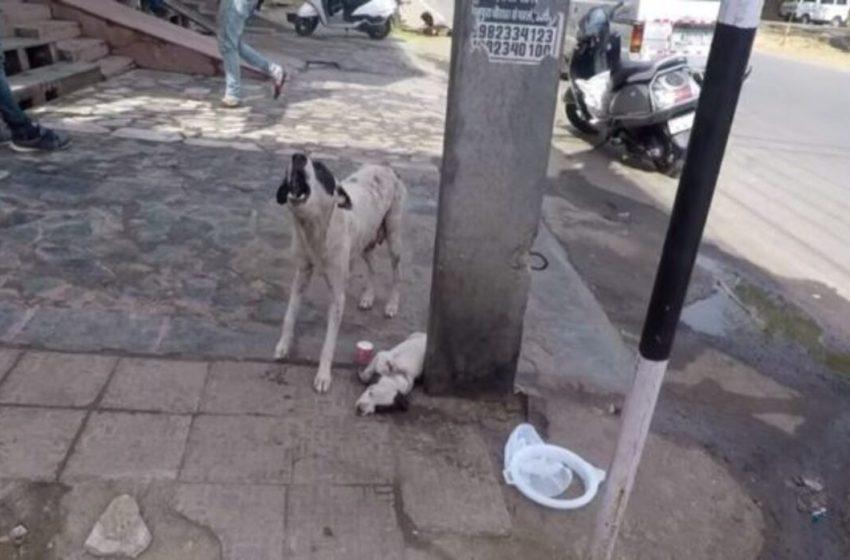 Mamá perruna pedía auxilio con aullidos desesperados para su pobre cachorrito herido ( VIDEO)
