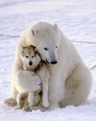 Polar bear and wolf