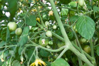 Massor med tomater