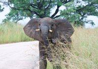 Busig elefantunge som försökte låtsasanfalla bilen