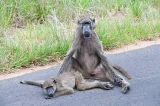 En flock babianer hade pausat mitt på vägen. Lite otäckt med tanke på vår öppna bil och att de kan bli ruskigt ilskna
