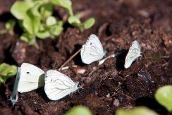 Rapsfjärilarna samlas i stora klungorpå mornarna och dricker vatten