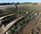 1,25 Juta Dolar Kerugian Petani Gaza Akibat Pestisida Beracun dari Israel