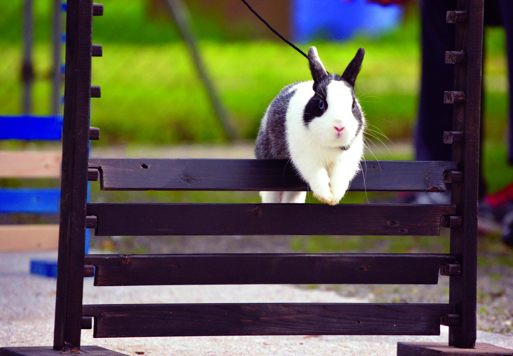 salto DEL coniglio