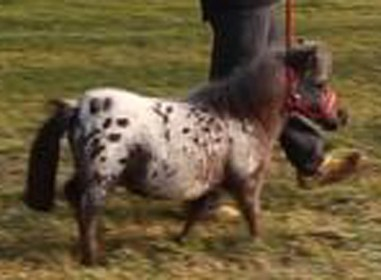 pierino cavallino