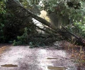 albero divelto