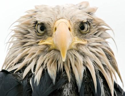 Bold eagle © Klaus Nigge -