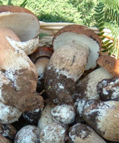 festa del fungo a quistello.jpg