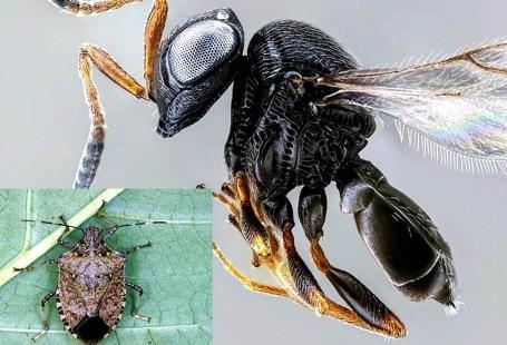 cimice asiatica e vespa samurai