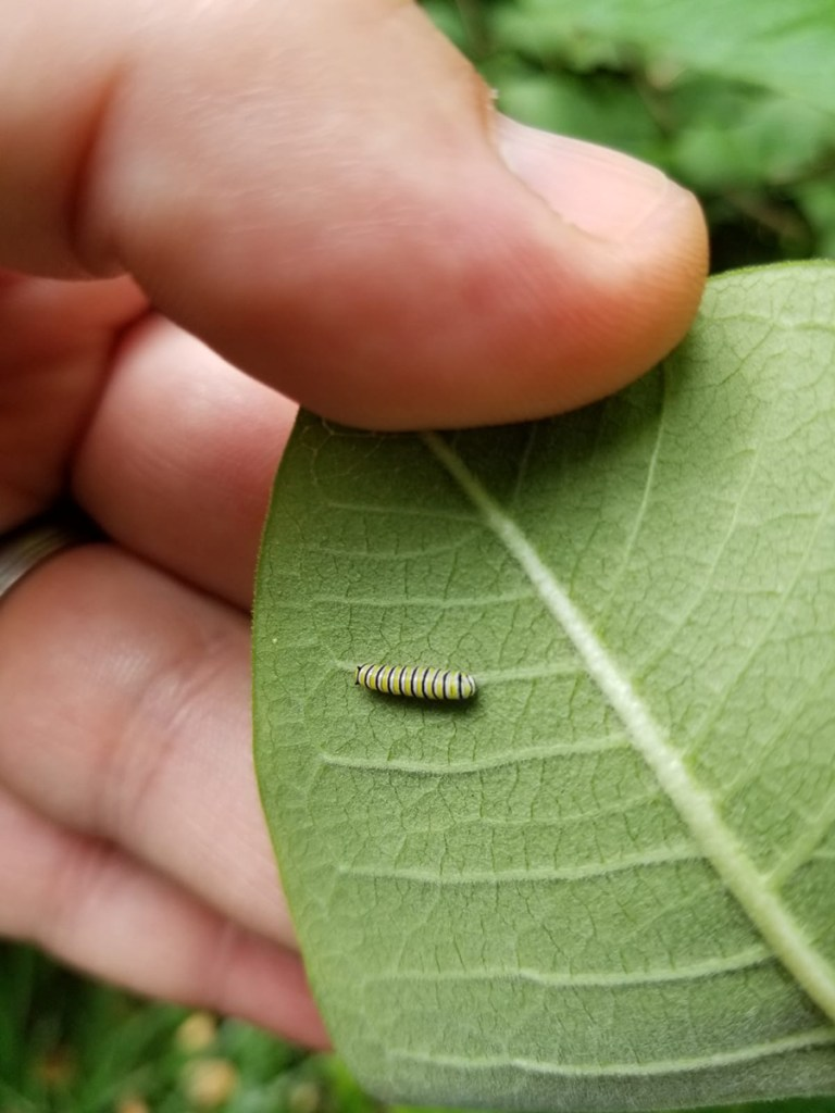 tiny monarch caterpillar on leaf with human fingers holding the leaf