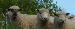 East Devon Bed and Breakfast Sheep