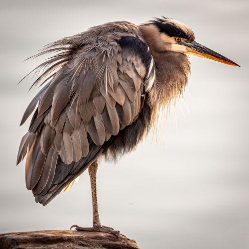 Great Blue Heron, New Westminster - BC