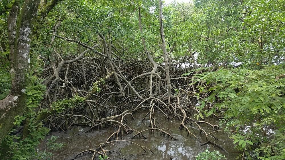 Forêt Vatable : Mangrove