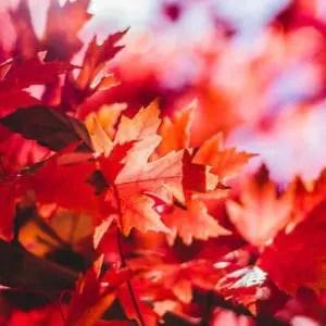 maple-leaf-1209695_1920