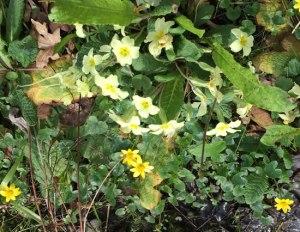 primroses and aconites