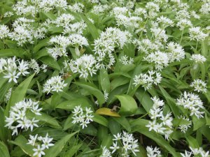 wild garlic flowers