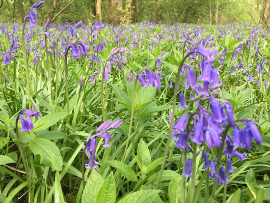blue flowers in woodland