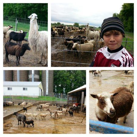 Star Thrower Farm sheep via mindfulmomma.com