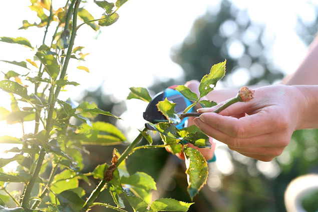 pruning tip