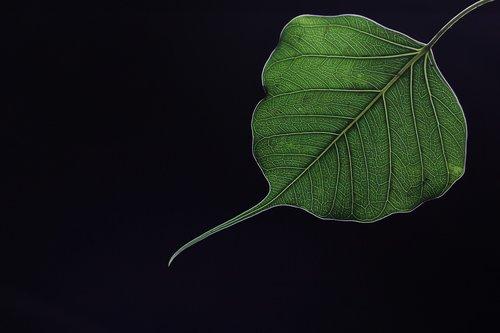 ficus religiosa leaf