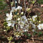 Garden Miniature Pear Tree